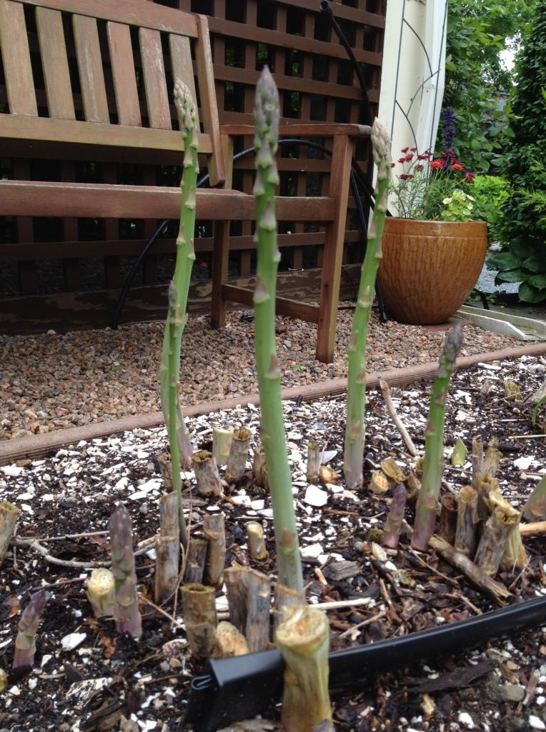 Asparagi stanno crescendo nel'orto ieri.